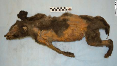 The preserved puppy was found in Tumat, Siberia.