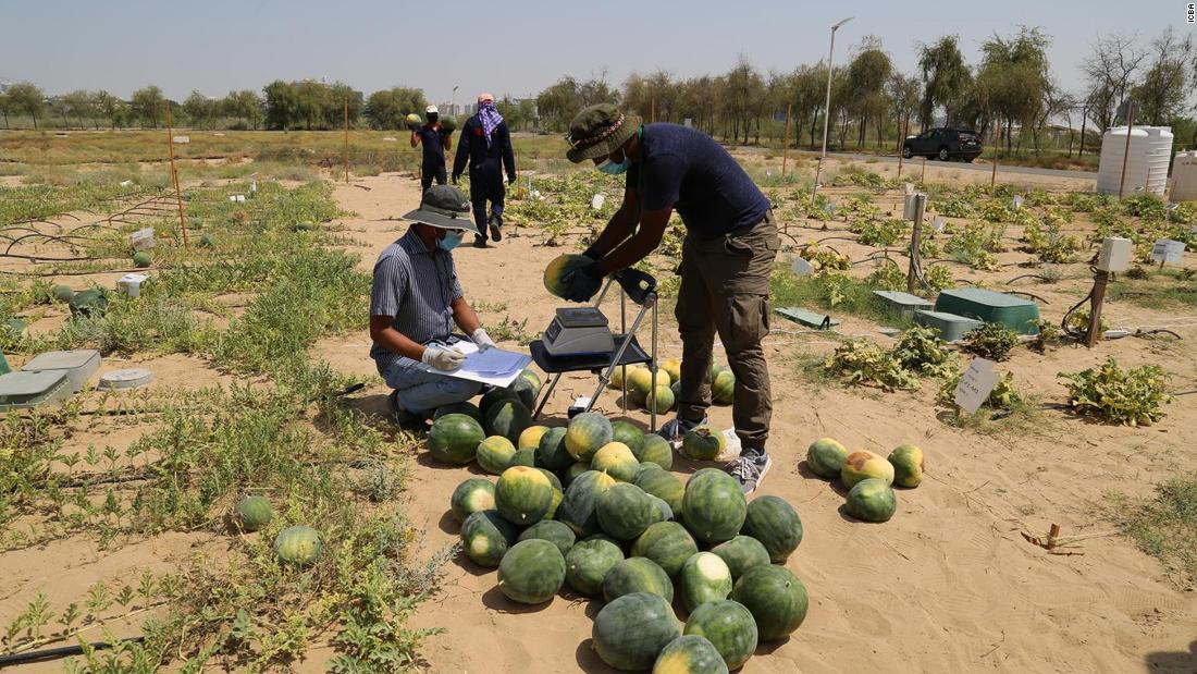 Desert Control says when its Liquid Nanoclay mixture is sprayed on sand, it forms a sponge-like layer in the soil that retains water and provides many plant-essential nutrients. Here, workers are harvesting a test crop of watermelons grown in the Dubai desert.