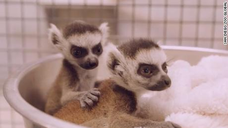 Baby Animal Alert This Is What You Missed While Zoos Were Closed Cnn Video