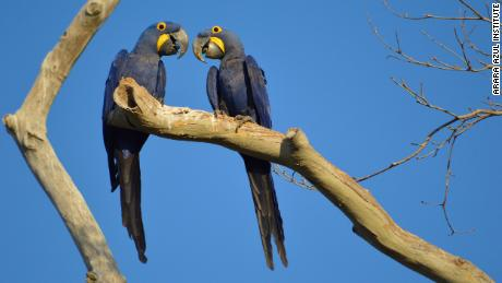 Blue macaws perch on a tree in the São Francisco do Perigara sanctuary prior to the devastating wildfire.