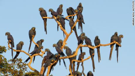 Blue macaws perch on a tree in the São Francisco do Perigara sanctuary prior to the fires.