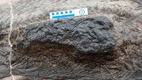This bundle of bones is the torso of another marine reptile inside the stomach of a fossilized ichthyosaur from 240 million years ago.