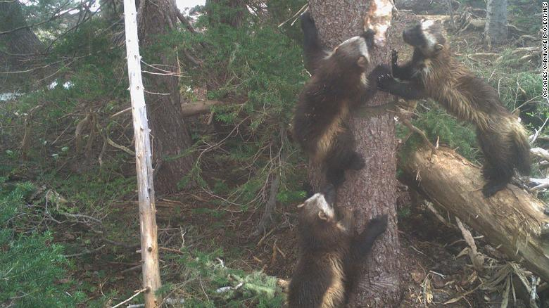A wolverine family at Mount Rainier National Park.