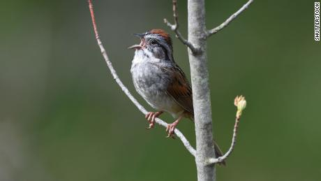 "Researchers at Duke University found in a recently published study that swamp sparrows sing intensely at dawn because they are ""warming up."""