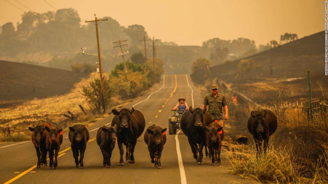 People herd cows down Pleasants Valley Road in Vacaville on August 19.