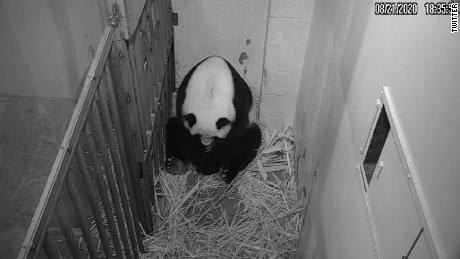 Giant panda gives birth at the National Zoo