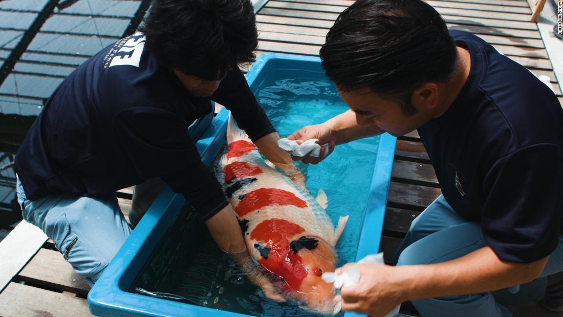 Japan's king of carp breeds million dollar koi fish
