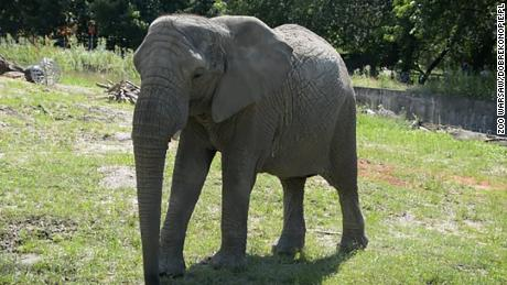 Warsaw Zoo in Poland is experimenting by giving elephants CBD oil to see whether the substance improves their mood and reduces conflict among the herd.