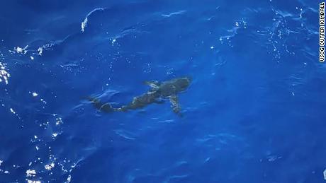 La guardia costera cree que el tiburón era un marrajo de aleta larga o un tiburón zorro pelágico.