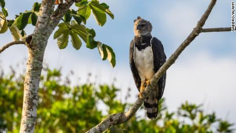 The Uru-Eu-Wau-Wau tribe also use the drone to monitor important species, like the harpy eagle. They use its feathers for arrows and ceremonial headresses.