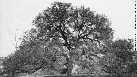 In this 1939 photo, Treaty Oak in Austin, Texas, stands near the west bank of the Colorado river. The oak is thought to be nearly 600 years old.