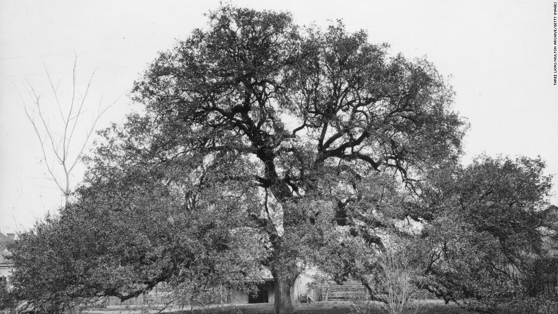 The bizarre story of a man who tried to murder a 600-year-old tree