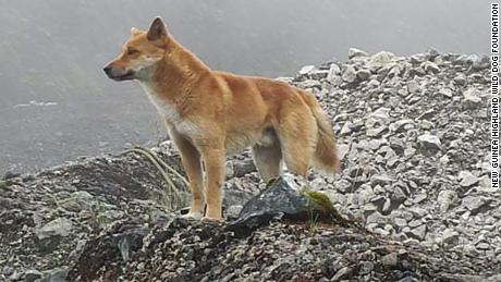 Many feared the New Guinea highland wild dog had become extinct through loss of habitat and mixing with feral village dogs.