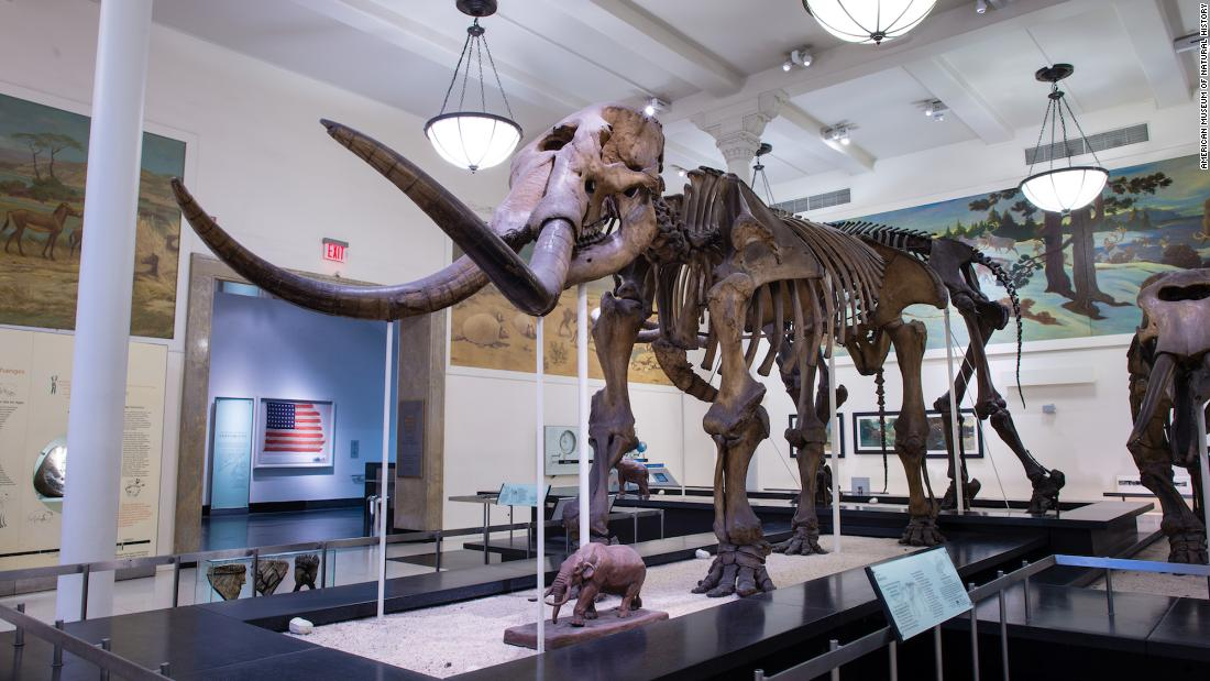 This mastodon fossil is on display at the American Museum of Natural History. A new study using mastodon DNA has suggested the animals migrated many times across North America during fluctuations in climate and environment.