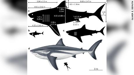 Vast size of prehistoric megalodon shark, which had a fin as long as a human, revealed for the first time