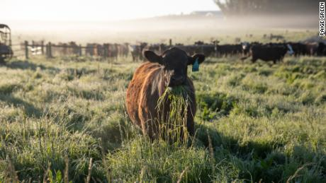 A cow munches on grass at Stemple Creek Ranch in Tomales, California.