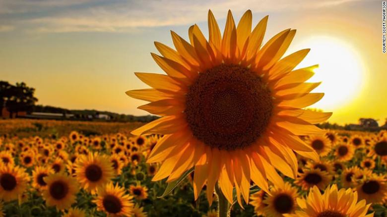 A farmer planted over 2 million sunflowers to provide a respite during this rough year