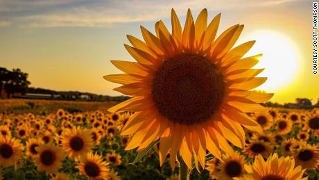 Thompson Strawberry Farm has been around for 70 years, but this is the first year it is decorated with sunflowers.