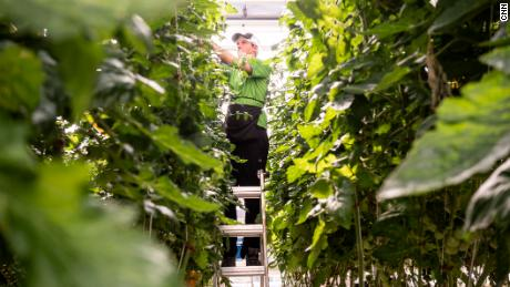 Ty Warner, a Vertical Harvest employee, is tasked with picking and pruning hundreds of the indoor farm's tomato plants.