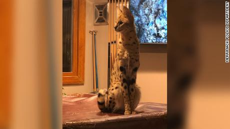 Spartacus, a 4-year-old African Serval, went missing for over 48 hours.