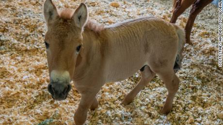 Przewalski's foal, shown in Texas, will be moved to San Diego Zoo Safari Park when he's older.