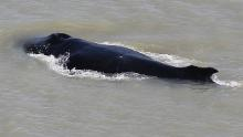 Three whales were first seen in the river, but experts believe there is only one left.