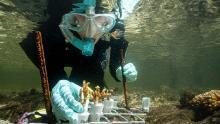 Marine biologist Emma Camp studies mangrove corals on Australia's Great Barrier Reef.