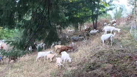 Goats are eating vegetation to help fight forest fires.