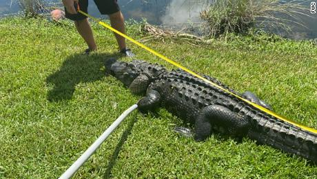 The alligator that bit the woman was caught by a licensed trapper and taken to an alligator farm.