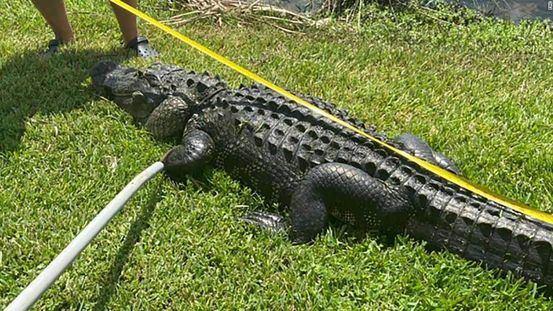 A Florida woman was attacked by a 10-foot alligator while trimming trees - CNN