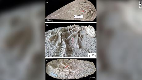 The two preserved skeletons (A/B and C) of Changmiania liaoningensis. Red arrows indicate gastrolith, or stone clusters.