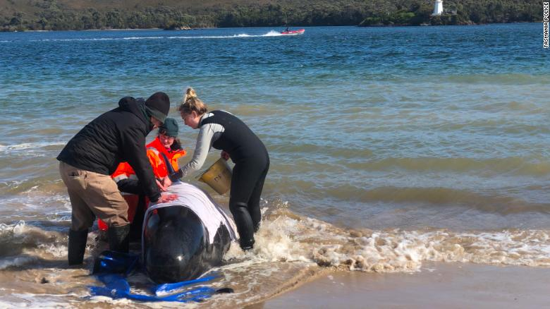 Tasmania finds another 200 pilot whales that may all be dead in mass stranding