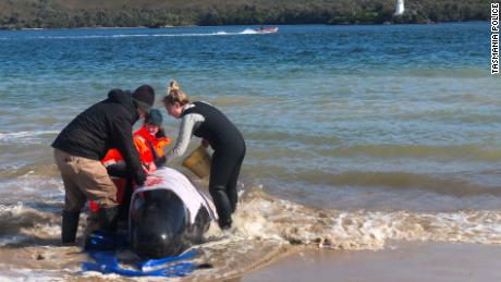 Rescue teams in Tasmania, Australia, working to rescue hundreds of stranded pilot whales on September 22.