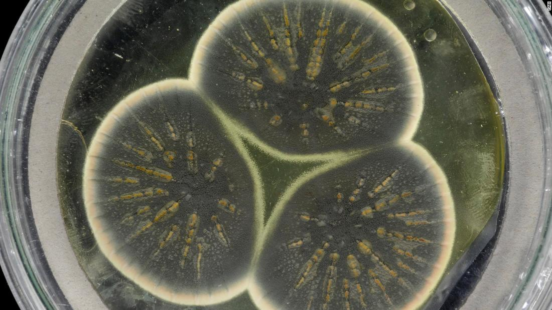 Scientists sequence the 92-year-old mold that produced the first antibiotic, penicillin - CNN