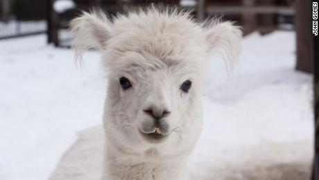 Caesar the alpaca, 2004-2020.