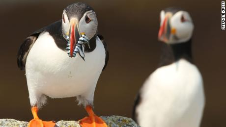 Researchers are tracking puffin diets to understand more about the health of local fisheries.