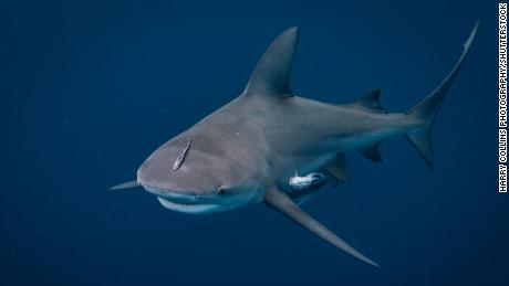 An image of a bull shark off the coast of Jupiter, Florida.