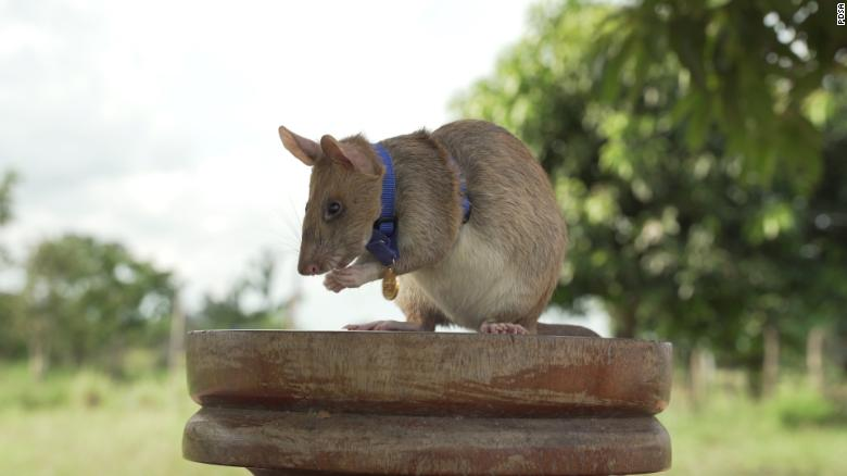 'Hero rat' wins gold medal from UK charity for hunting landmines