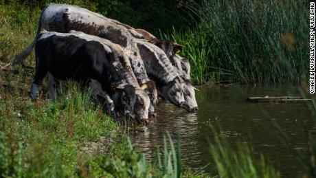 English longhorn cattle drink from one of Knepp's waterways.