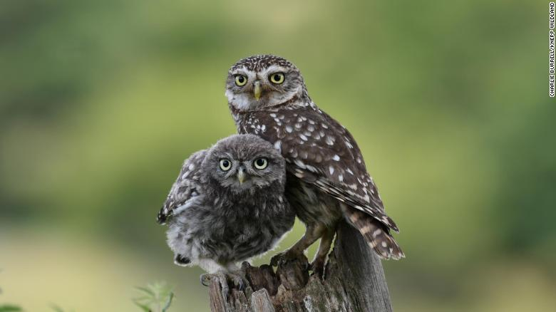 Knepp has attracted all five of the UK's owl species, including these little owls.