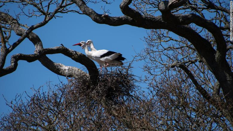 Knepp has attracted many rare birds, including white storks.