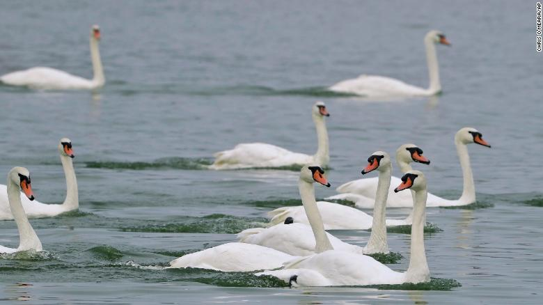 A Florida city is having a swan sale because it costs $10,000 per year to feed them