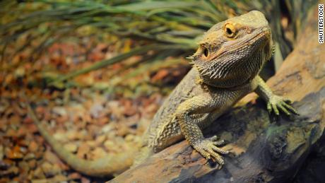 A Salmonella outbreak has been tied to pet bearded dragons.