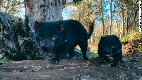 The conservation program has reintroduced a total of 26 devils to mainland Australia.