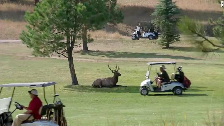 An elk rests in the shade as golfers speed by on golf carts.