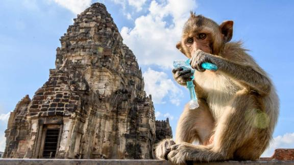 This picture taken on June 20, 2020 shows a longtail macaque drinking juice in front of the Prang Sam Yod Buddhist temple in the town of Lopburi, some 155km north of Bangkok. - Lopburi