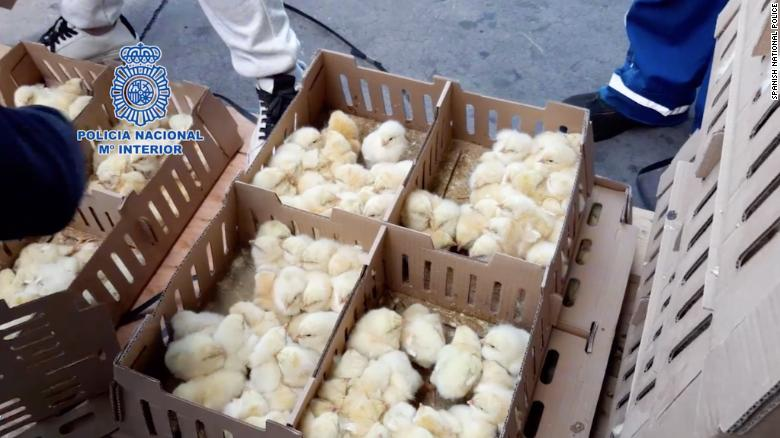 Thousands of abandoned baby chicks die at Madrid airport