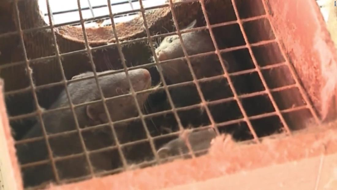 10000 mink are dead in Covid-19 outbreaks at US fur farms after virus believed spread by humans – CNN
