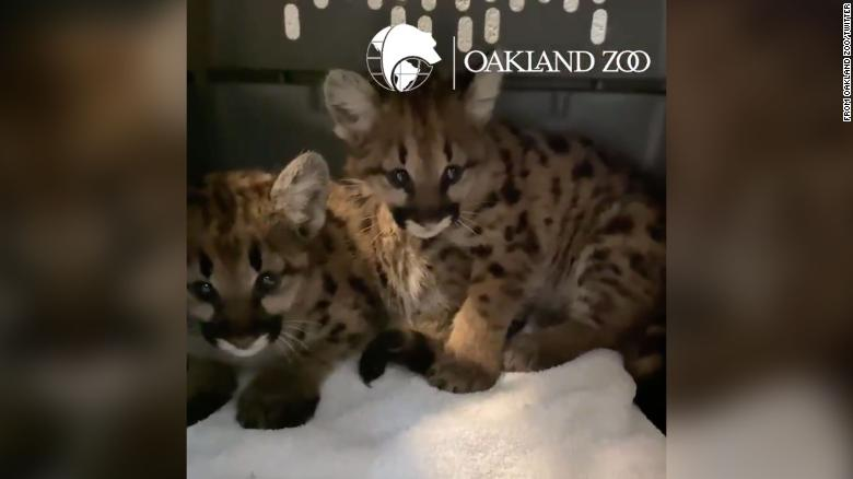 Oakland Zoo takes in two more mountain lion cubs rescued from a California wildfire