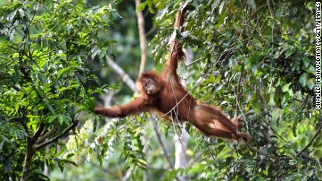 A young Sumatran orangutan swings on a tree at the Pinus Jantho Forest Reserve on June 18, 2019 in Indonesia.
